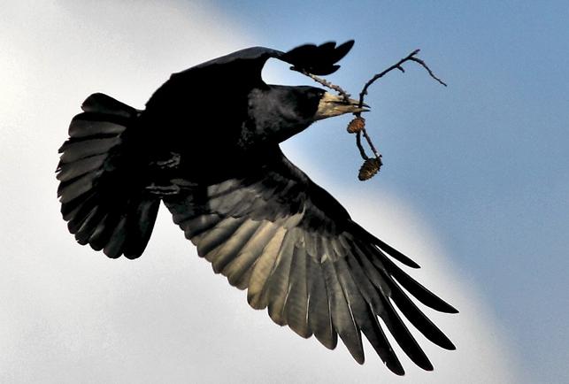 Saatkrähe beim Nestbau, Foto: Matthias Fichtner