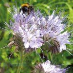 Naschgarten und Blumenmeer / Bienenweide / Foto: BGFG_ER